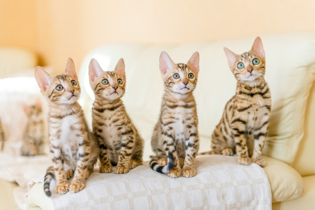 Bengal kittens sitting on the sofa in the house