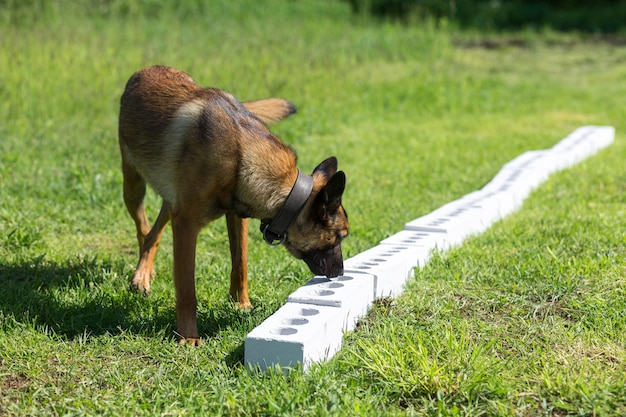 A bengal sheepdog sniffs a row of brick in search of one with a hidden object. training to train service dogs for the police, customs or border service.