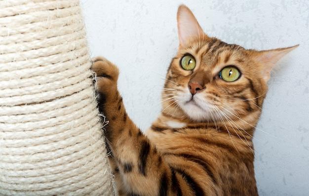 スクラッチポスト付きのベンガルショートヘアの猫。猫は爪を掻いている。ペットケア