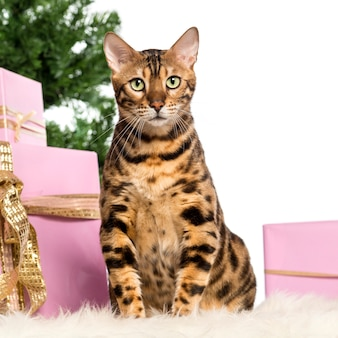 Bengal sitting in front of christmas decorations