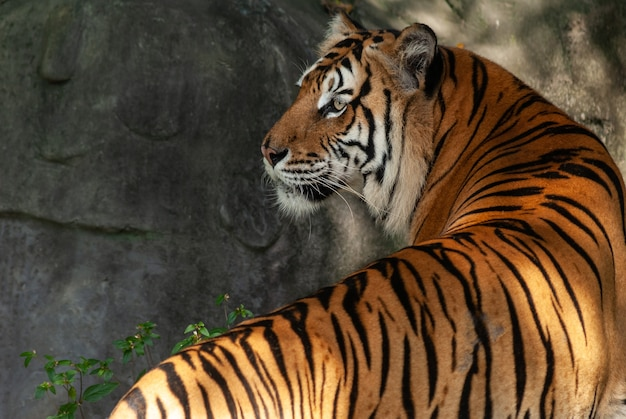 A bengal tiger in close up portrait with green forest and stone backgrounds