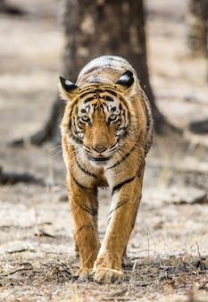 ランタンボール国立公園のベンガルトラ。インド。