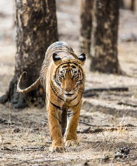ベンガルトラはランタンボール国立公園の木々の間を行き来しています。インド。