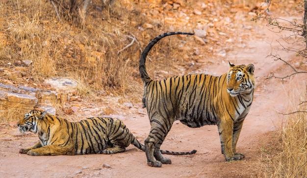 ベンガルトラが道路に横たわっています。ランタンボール国立公園。インド。