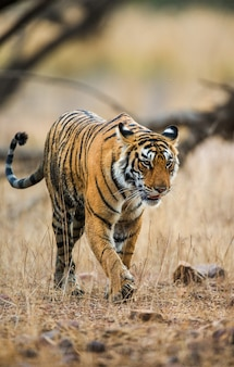 ベンガルトラがランタンボール国立公園の芝生の上を歩いています。インド。