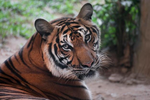 Bengal tiger looking something.