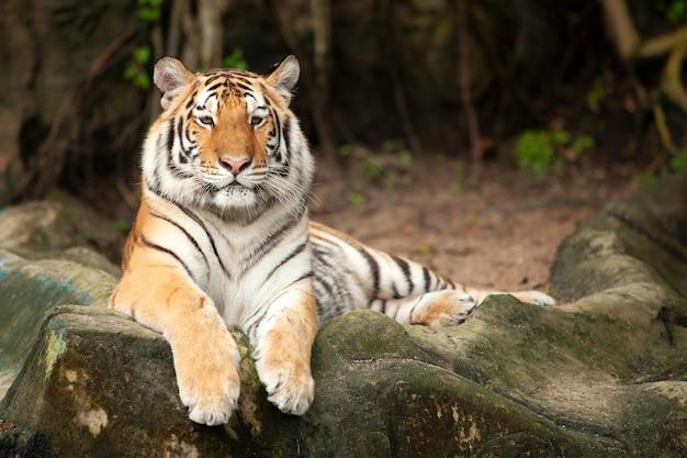 Бенгальский тигр, лежащий на скале.