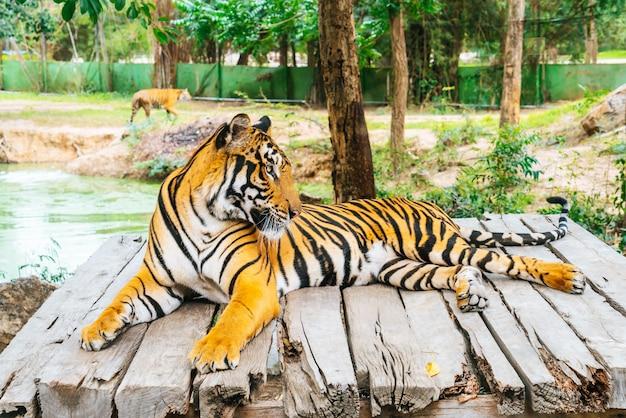 Bengal tiger lying wood