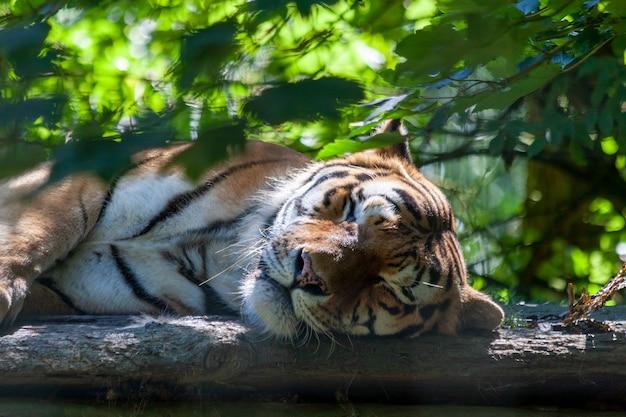 Bengal tiger (panthera tigris tigris) sleeping