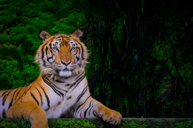 Bengal tiger resting near with green moss from inside the jungle zoo .