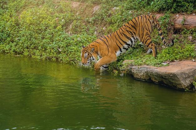 Бенгальский тигр входит в воду в зоопарке.