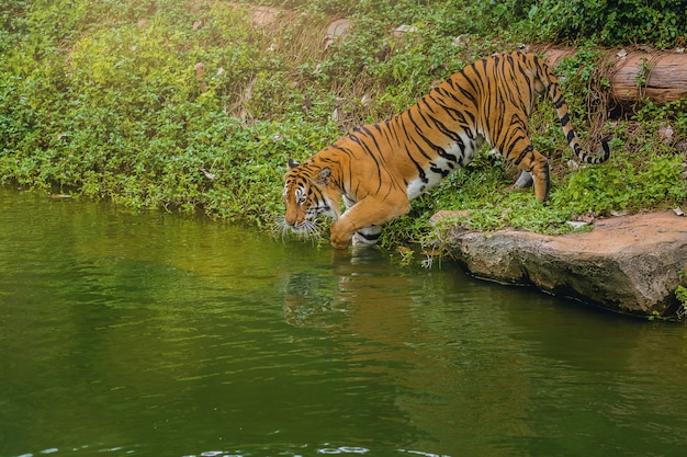 Bengal tiger walking in to water in the zoo.