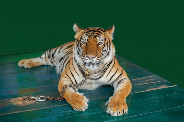 Bengal tigers chained on wooden tables for tourists