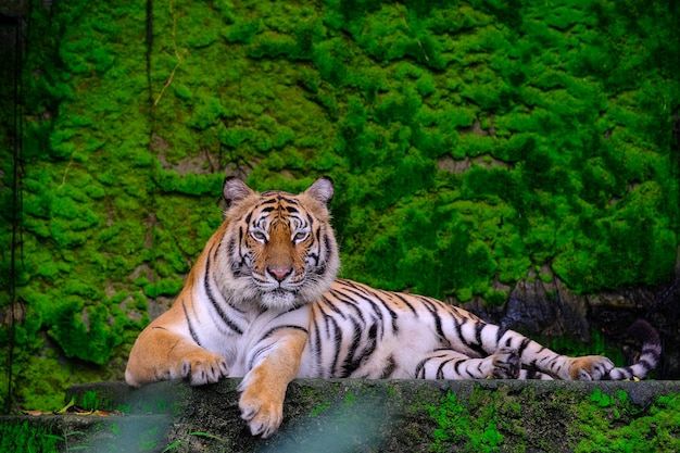 Bengal tigers lie with each other on a green moss on a rocky mountain.