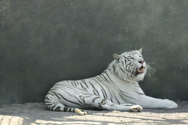 Бенгальский белый тигр в зоопарке в солнечный день
