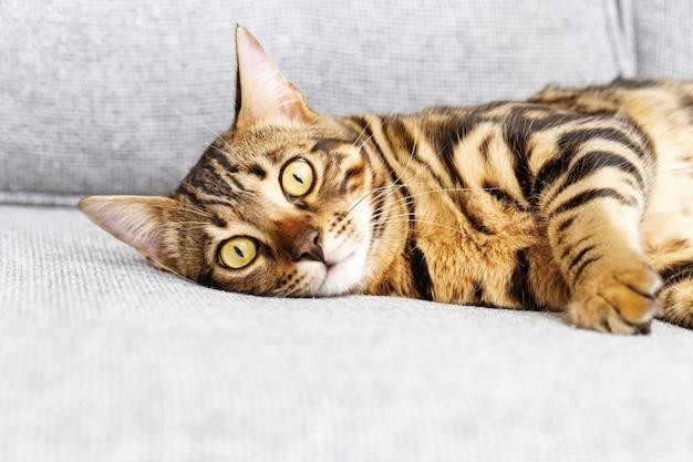 벵골 어린 고양이 회색 소파에 쉬고, 귀여운 얼룩 고양이가 카메라를 찾고 있습니다.