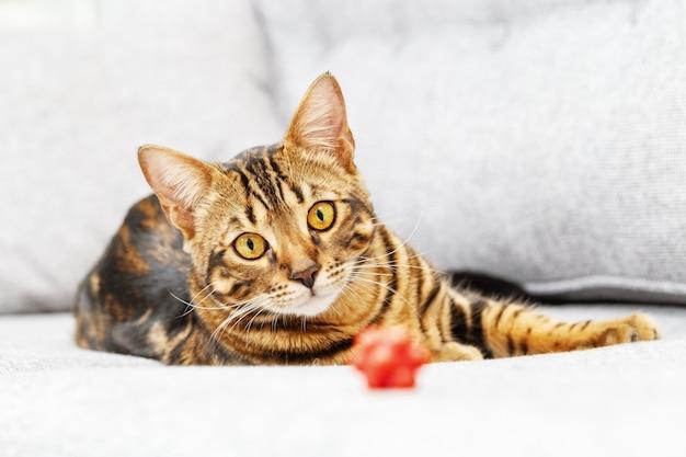 회색 소파에 벵골 어린 고양이 거짓말 귀여운 줄무늬 고양이는 작은 빨간 장난감 공을 찾고 있습니다