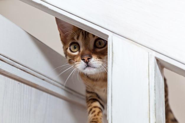 Бенгальский котенок, бенгальский котенок с забавной мордашкой, котенок ухаживает за игрушкой