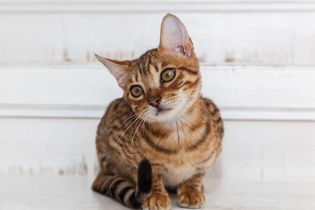Бенгальский котенок, бенгальский котенок с забавной мордочкой, котенок ухаживает за игрушкой