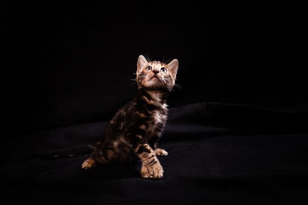 Bengali tiger kitten on a black background.