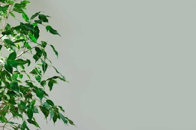 녹색 벽 배경 벤자민 무화과