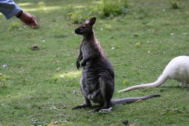 Bennett wallaby, kangaroo at a zoo in france