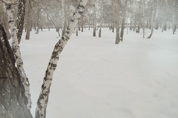 Bent birch trunk against the background of snow and trees in the winter park