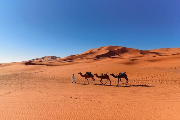 Berber man leading camel caravan in sahara desert