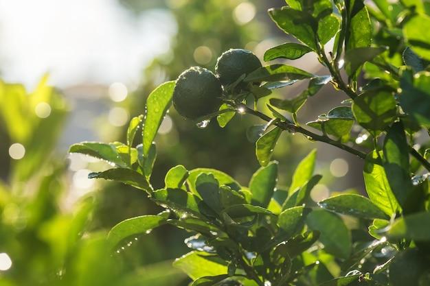 이 슬과 bokeh와 bergamot anf 녹색 잎