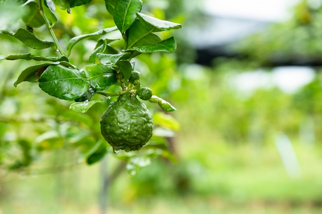 Bergamot fruit with green leaf on branch on garden background