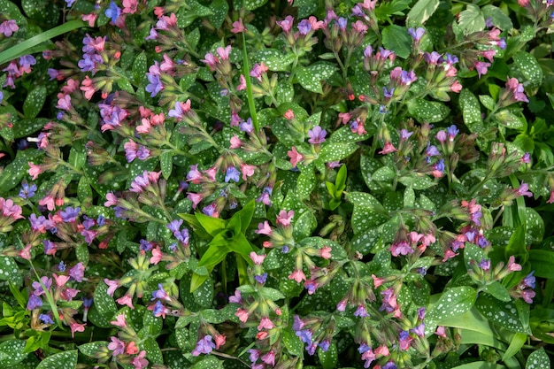 Bergenia cordifolia는 또한 bergenia crassifolia, badan, 시베리아 차 피는, 진한 분홍색 변형이라고 명명했습니다.
