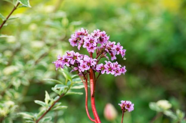 緑の上のベルジェニアの花のクローズアップ