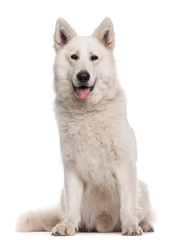 Berger Blanc Suisse Free Vectors Stock Photos Psd