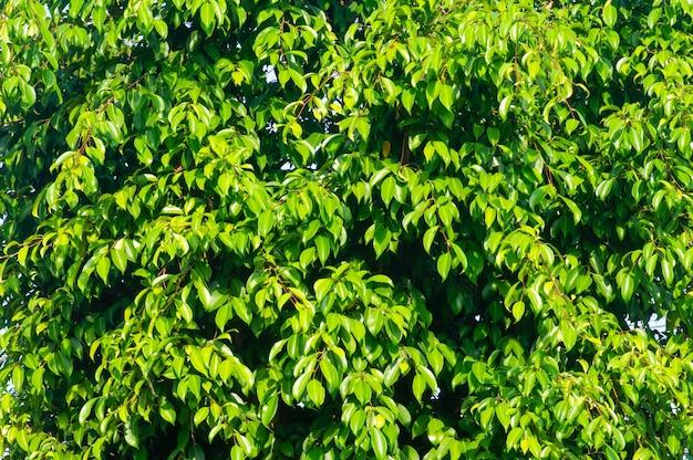베링긴(ficus benjamina)은 자연 배경과 벽지를 위한 질감을 남깁니다.