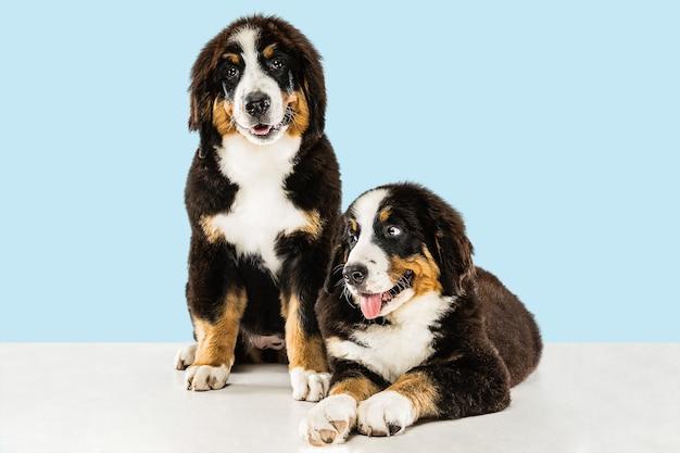 Cuccioli di berner sennenhund su blu