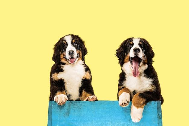 黄色の壁にバーニーズ・セネンハンドの子犬