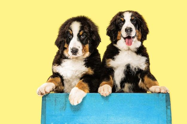 Cuccioli di berner sennenhund sulla parete gialla