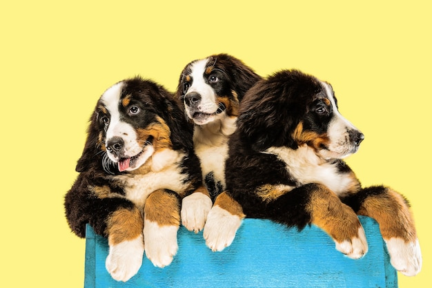 Berner sennenhund puppies on yellow