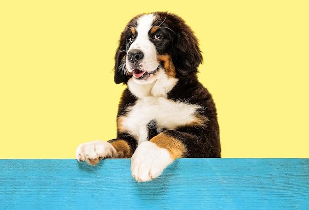 노란색에 berner sennenhund 강아지