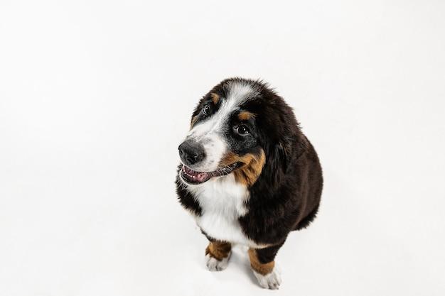 Berner sennenhund 강아지 포즈. 귀여운 화이트 브라운 블랙 강아지 또는 애완 동물이 흰색 배경에서 재생됩니다. 세심하고 장난스러워 보입니다. 스튜디오 사진. 움직임, 움직임, 행동의 개념. 부정적인 공간.