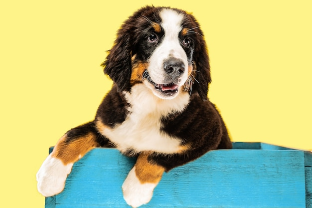 Berner sennenhund puppy posing inside blue bag