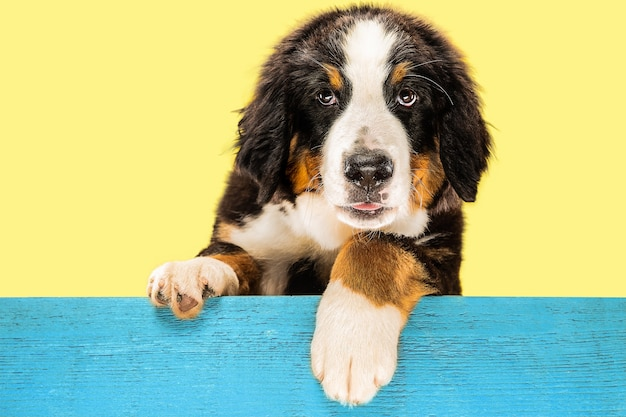 Berner sennenhund puppy on yellow
