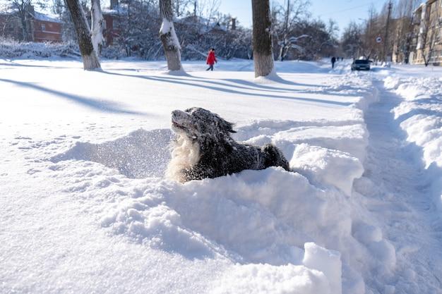 大きな雪の漂流に横たわる雪に覆われたバーニーズマウンテンドッグ