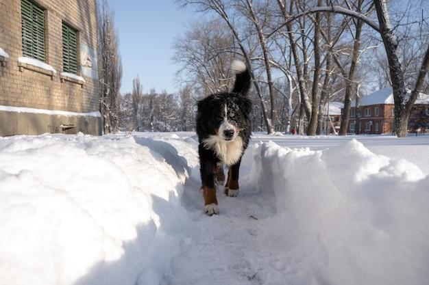 大きな雪が漂う中を歩く雪に覆われたバーニーズ・マウンテン・ドッグ。冬の街は雪が多い
