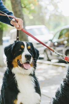 공원에서 산책을위한 bernese mountain dog