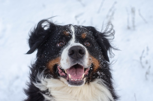 Bernese mountain dog head close-up with snow on nose