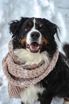 Bernese mountain dog head in scarf close-up with snow on nose