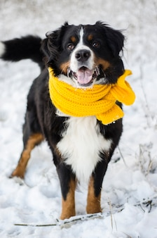 Bernese mountain dog head with the snow on his face wearing yellow scarf
