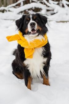 Голова бернского зенненхунда со снегом на лице в желтом шарфе