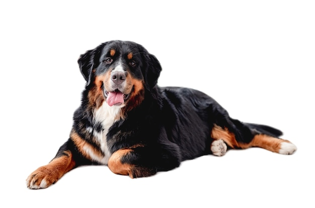 Bernese mountain dog lies and looking at camera isolated on white background
